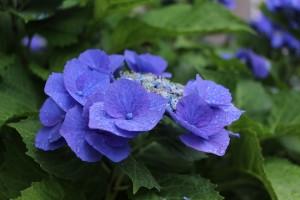 bunch-of-flowers-814907_960_720 28.7.みらいわ(あじさい)